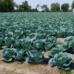 Cabbages along the River Raisin